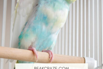 Do budgies like to be pet?