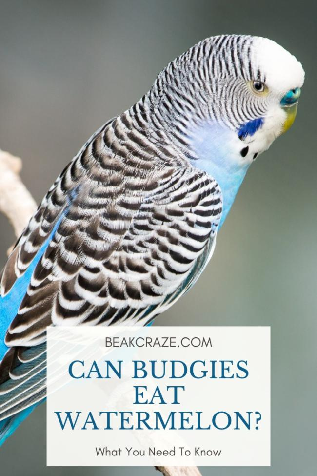 Can budgies eat watermelon?