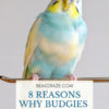 Why are budgies so popular?