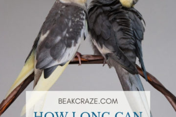 How long can cockatiels go without food?