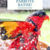 How often should parrots bathe?