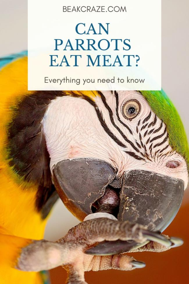 Can parrots eat meat?