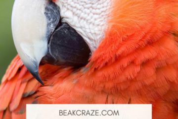 Why do parrots bob their head?