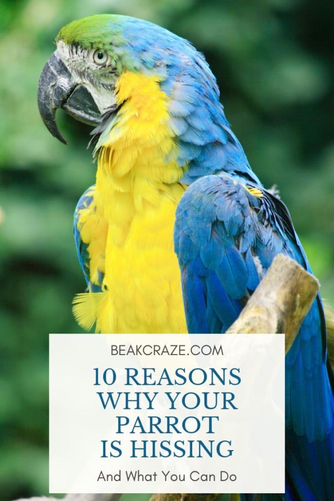 Why is my parrot hissing?
