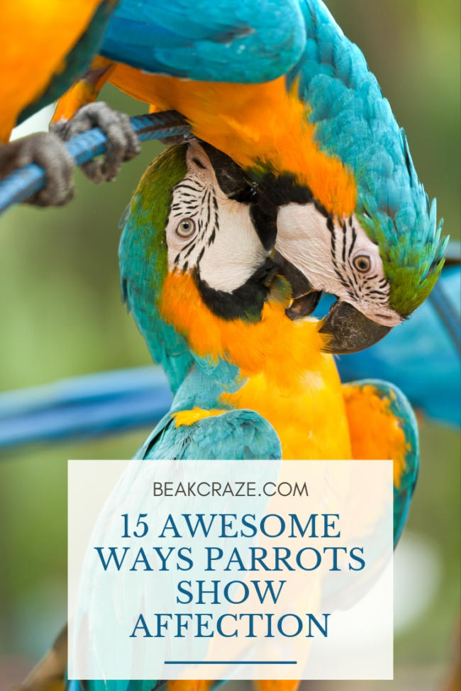 15 Awesome Ways Parrots Show Affection