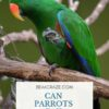Can Parrots Eat Tomatoes?