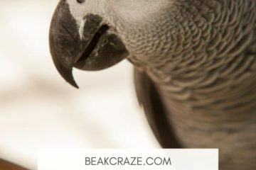 Do Parrots understand what they are saying?