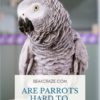 Are parrots hard to take care of?