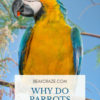 Why do parrots dance?
