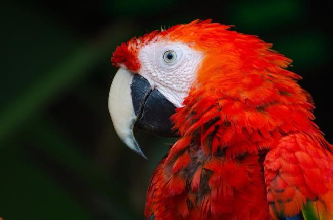 Are grapes safe for parrots?