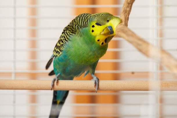 what perches are good for budgies