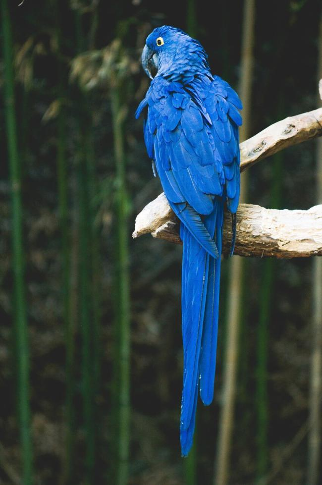 Can feeding grapes to parrots cause problems?