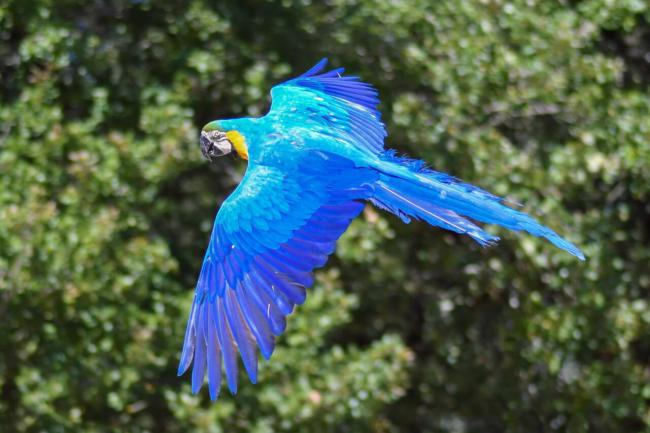 aggression in macaws