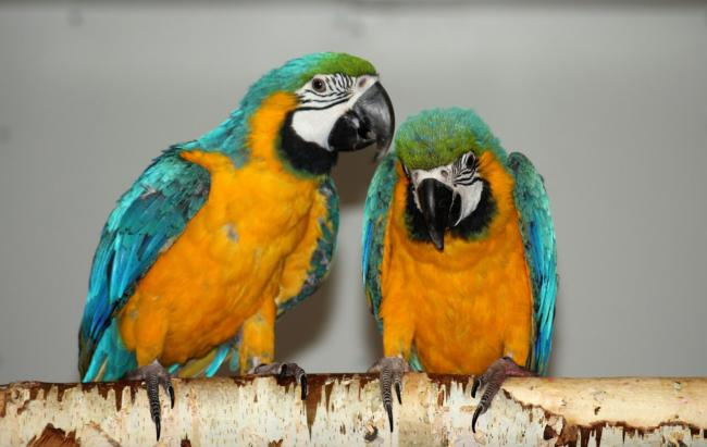 is keeping two parrots hard?