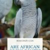Are African Greys Dusty?