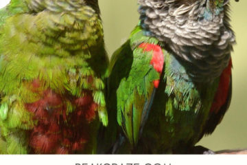 What other birds do conures get along with?