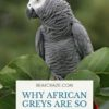 Why are african greys so expensive?