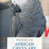 Are African Greys loud?