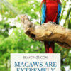 Are macaws loud?