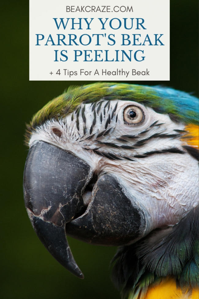 Why is my parrot's beak peeling?