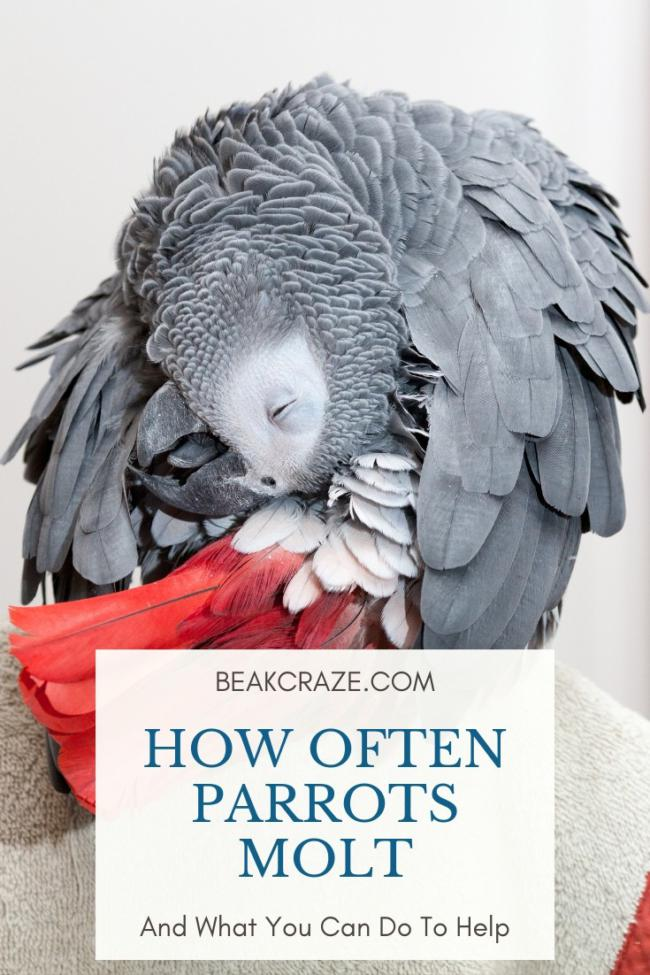 How often do parrots molt?