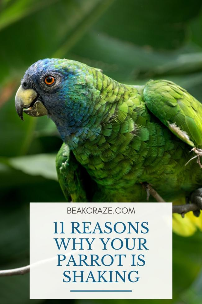 Why is my parrot shaking?