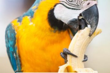 Can parrots eat banana?