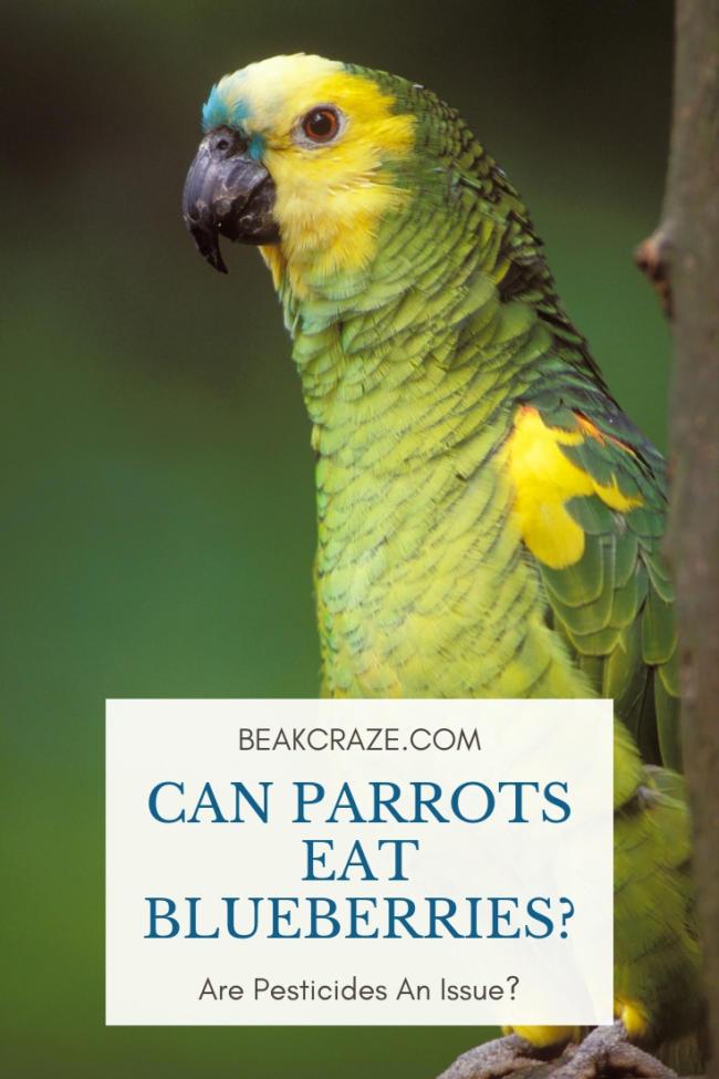 can parrots eat blueberries?