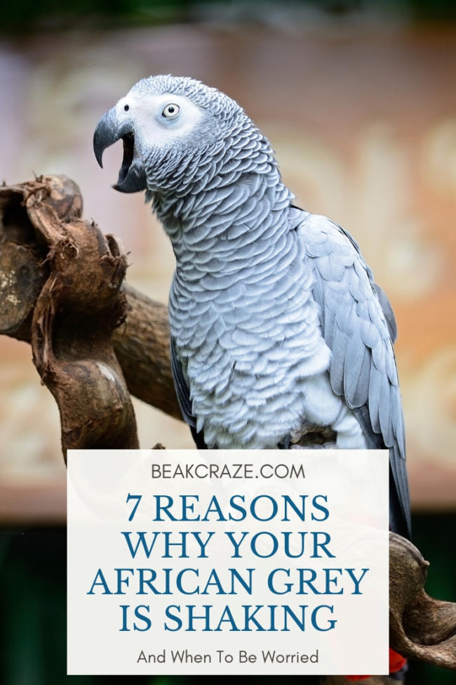 Why is my african grey parrot shaking?