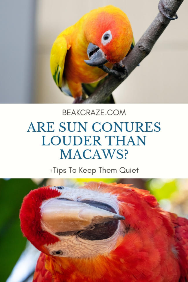 Are Sun Conures Louder Than Macaws?