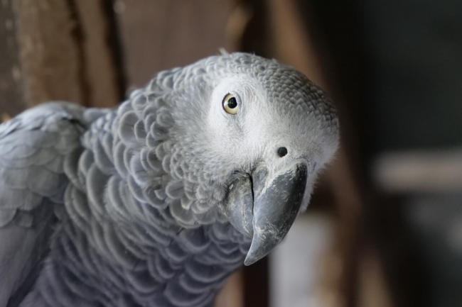 can parrots be therapy animals?