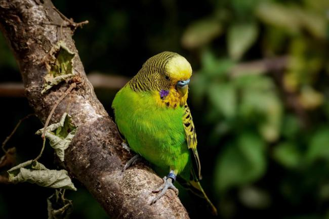 which perches are good for budgies