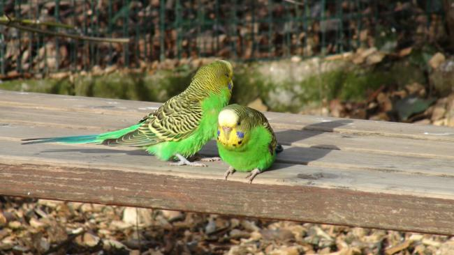 how many perches do budgies need?