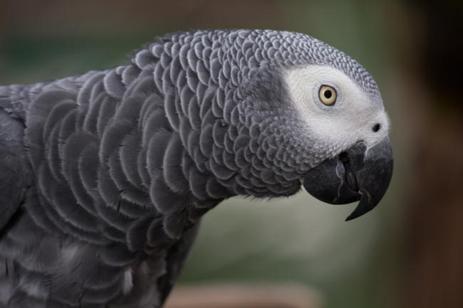 Are African Grey parrots very noisy?