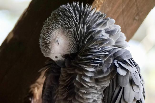 How to quiet an african grey