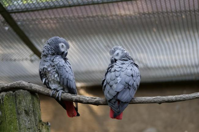Do parrots stay together their whole life?