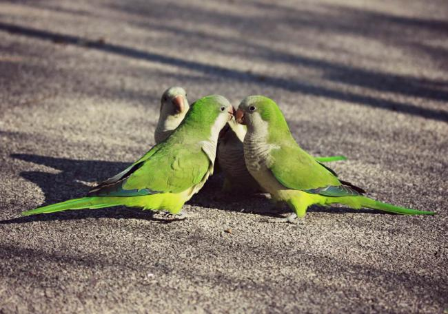 Are parrots better in pairs?