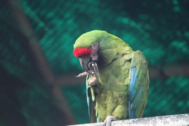 are grapefruits safe for parrots?