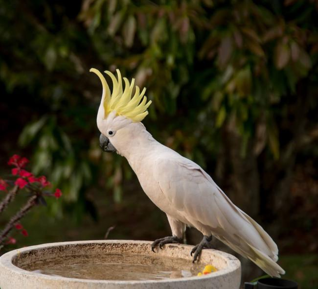 How loud are cockatoos?