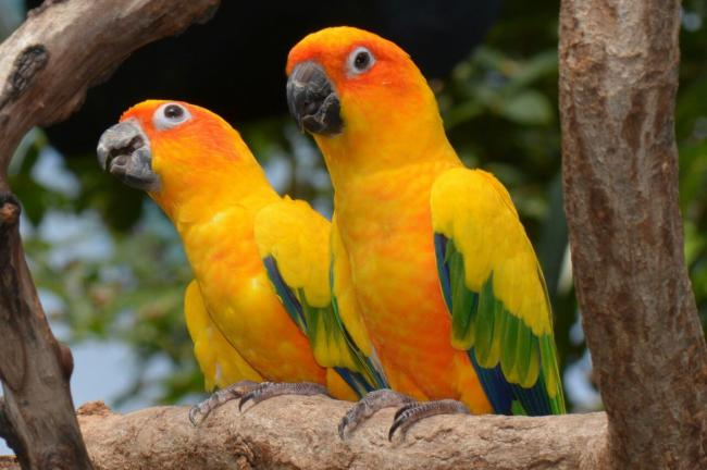 how loud are conures compared to macaws?