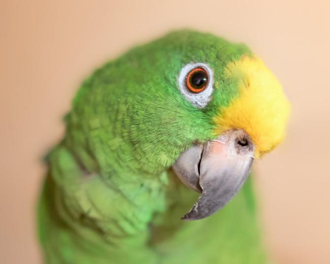 Can parrots be left alone for 8 hours?