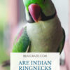 Are indian ringnecks affectionate?