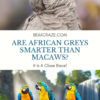 Are african greys smarter than macaws?