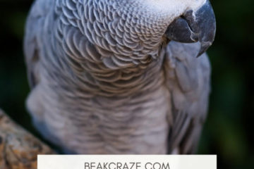 Are African Greys Good Family Pets?