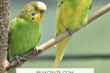 Do budgies need a companion?