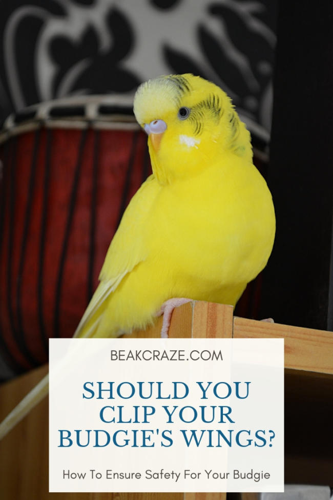 should i clip my budgie's wings?