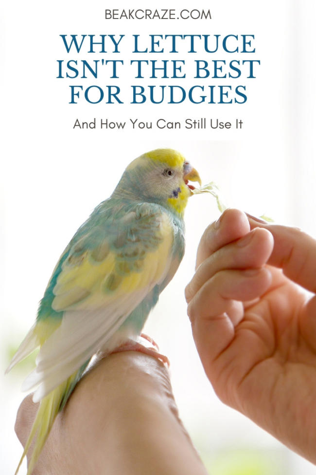 can budgies eat lettuce?