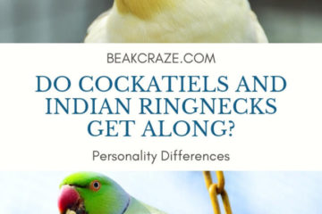 Do cockatiels and indian ringnecks get along?