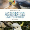 can cockatoos and cockatiels live together?