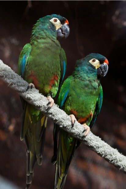 are mini macaws easy to care for?